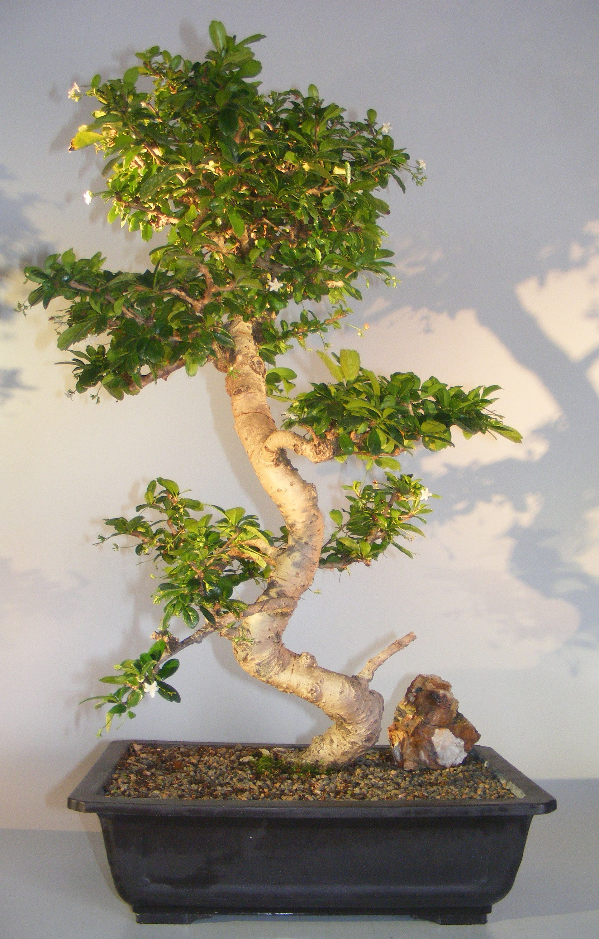 Flowering Fukien Tea Bonsai Tree Curved Trunk & Tiered Branching (ehretia microphylla) Image
