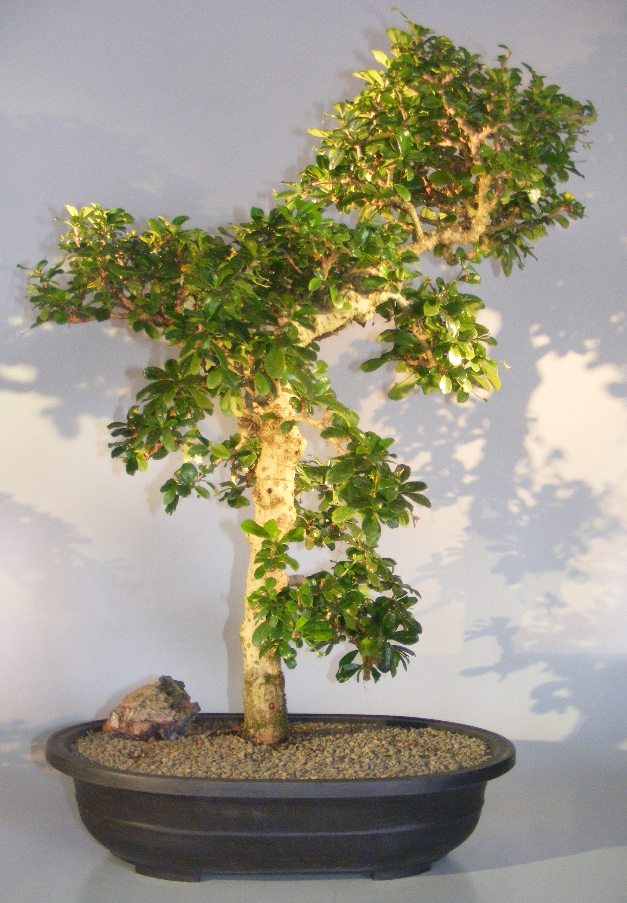 Flowering Fukien Tea Bonsai TreeCurved Trunk & Tiered Branching(ehretia microphylla) Image