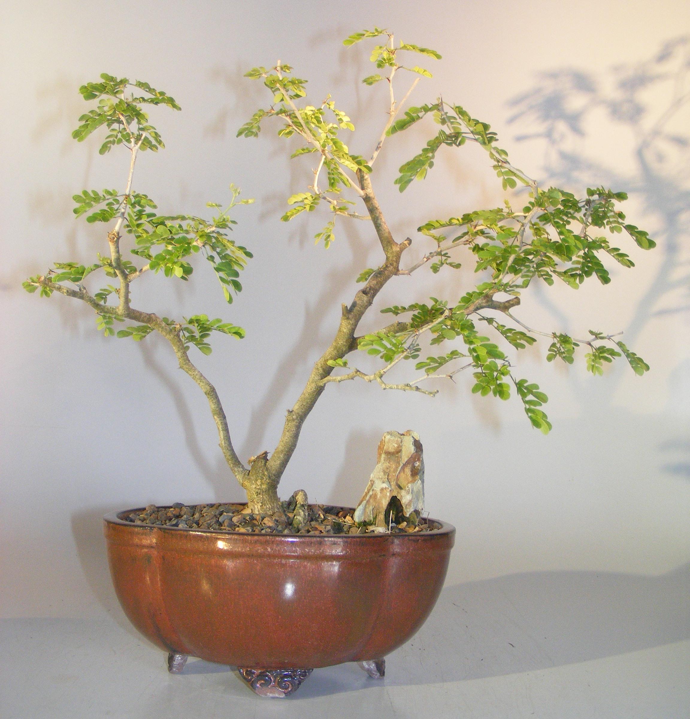 Flowering Texas Ebony Bonsai Tree Pithecolobium Flexicaule