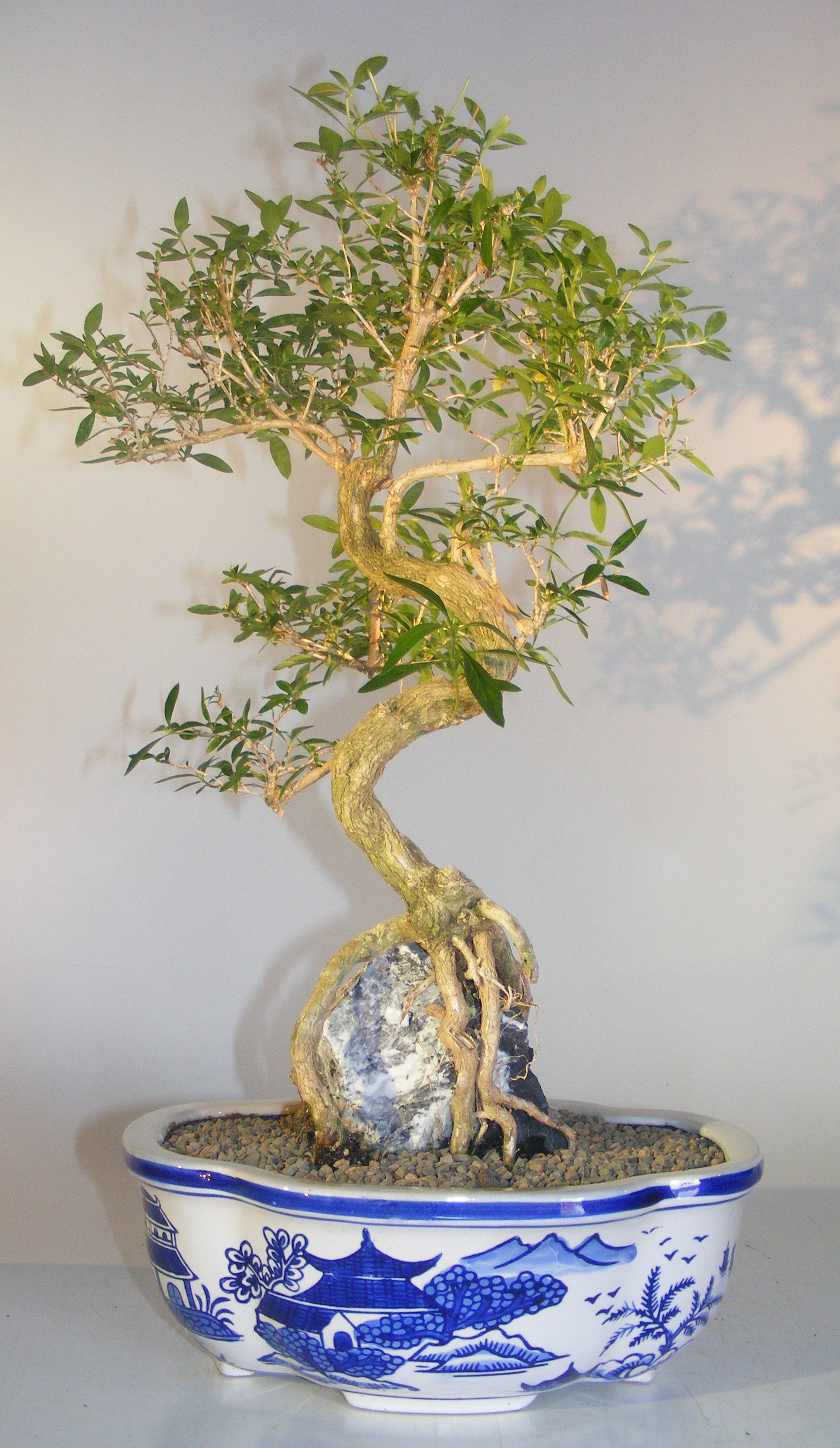 Flowering Chinese White Serissabonsai Tree Of A Thousand Starsroot Over Rock Serissa Japonica