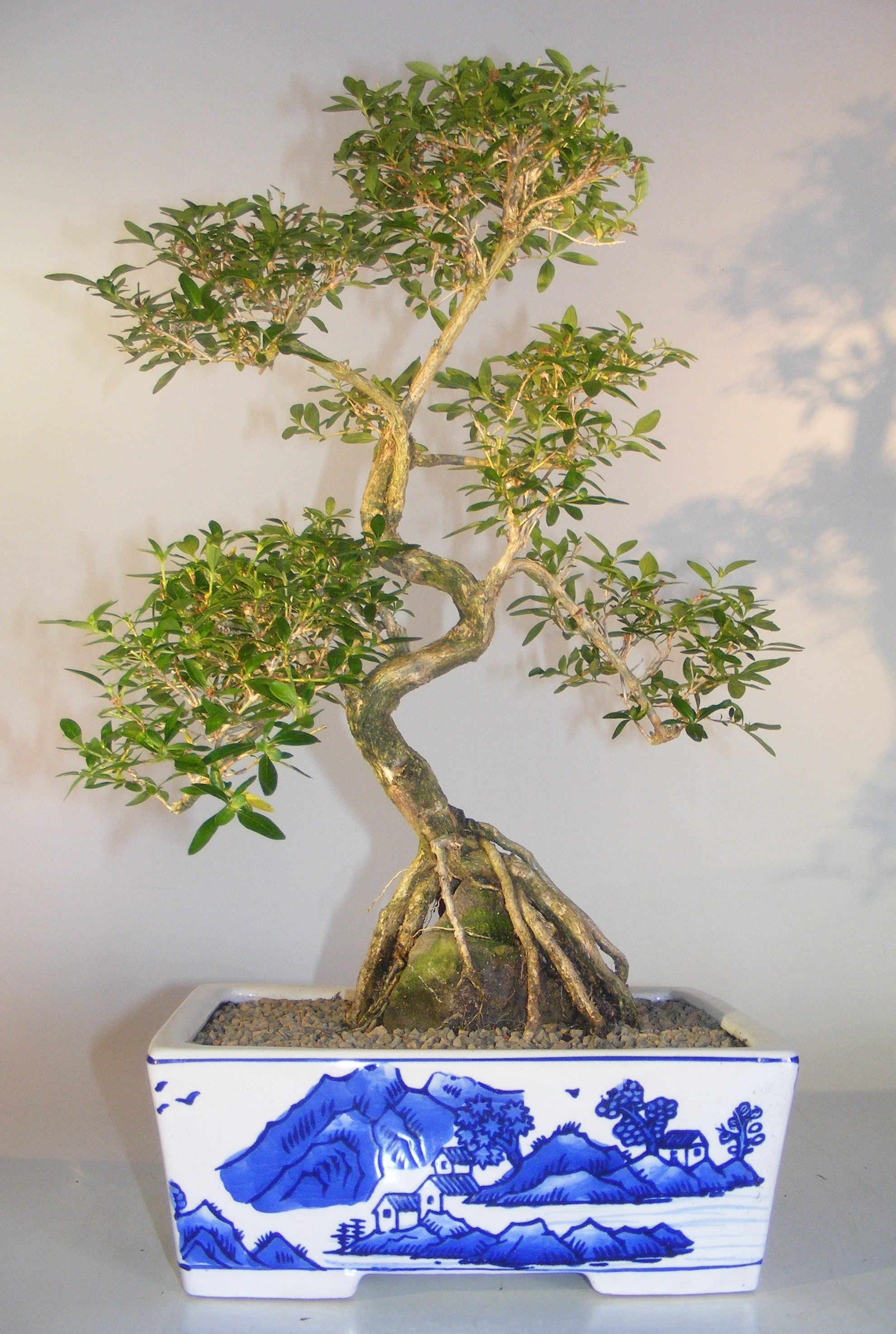 Flowering Chinese White Serissa Bonsai Tree Of A Thousand Stars Root Over Rock Serissa Japonica