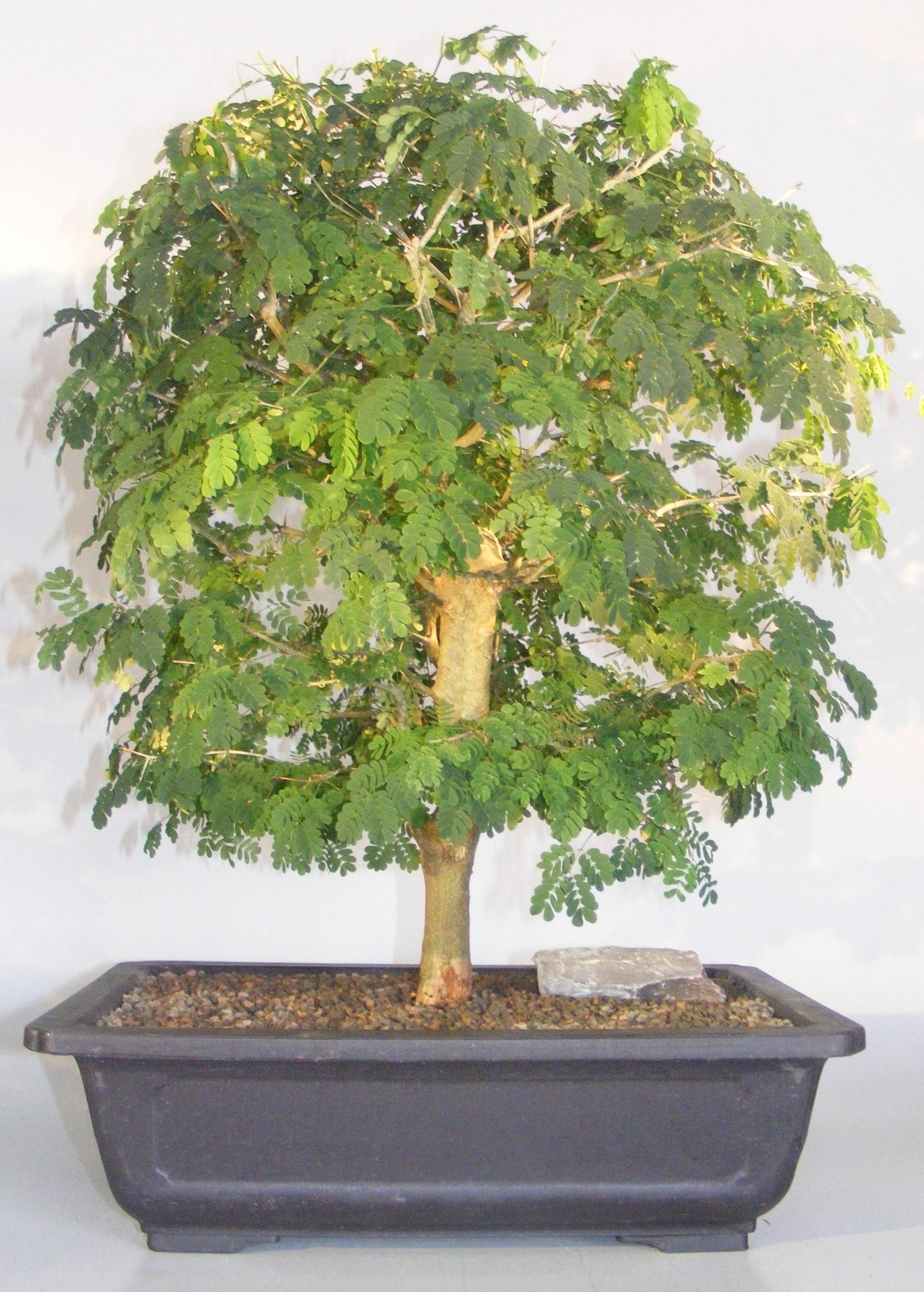 Flowering Brazilian Raintree Bonsai Tree (pithecellobium tortum) Image