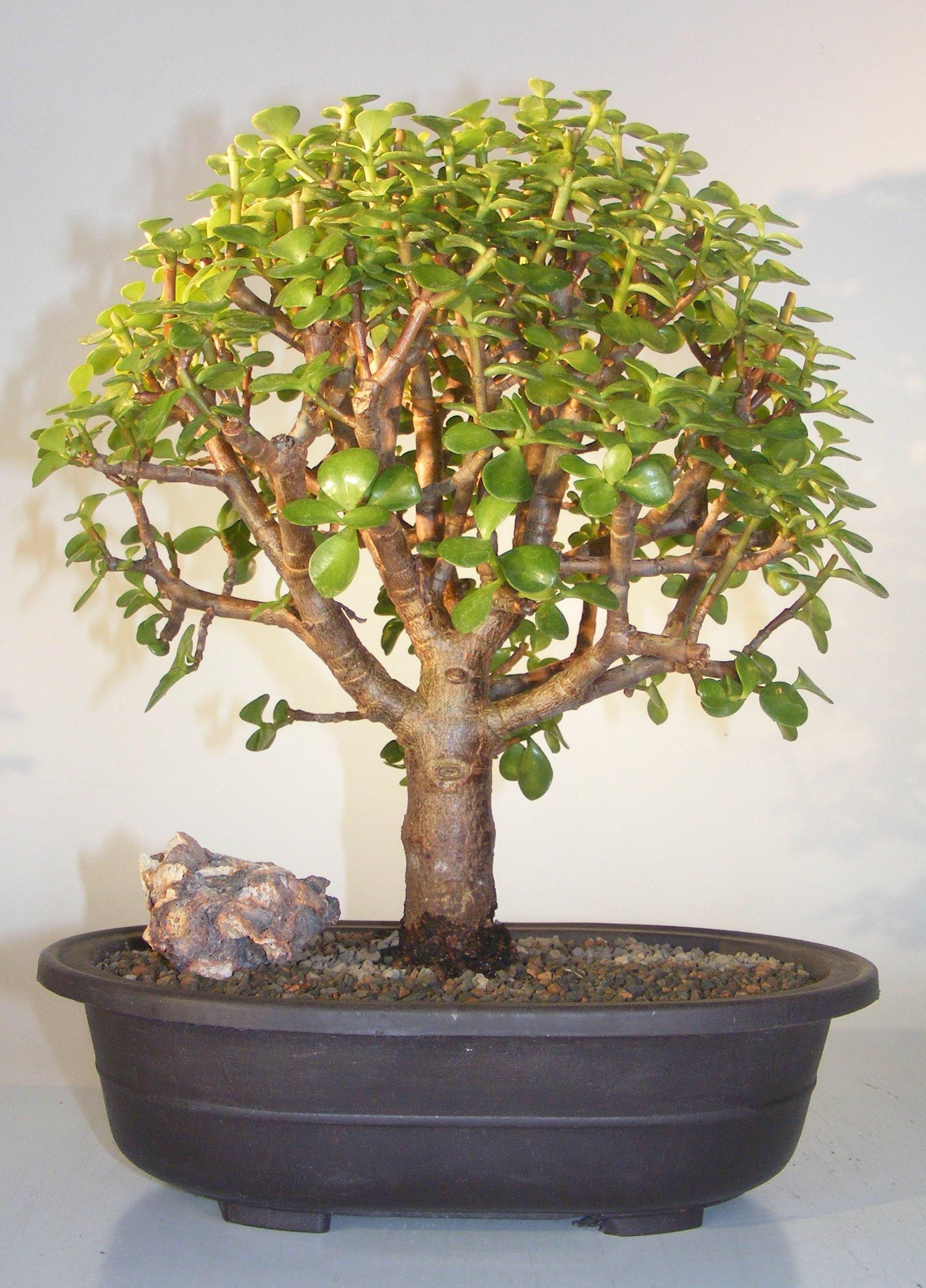 Baby Jade Bonsai Tree(Portulacaria Afra) Image