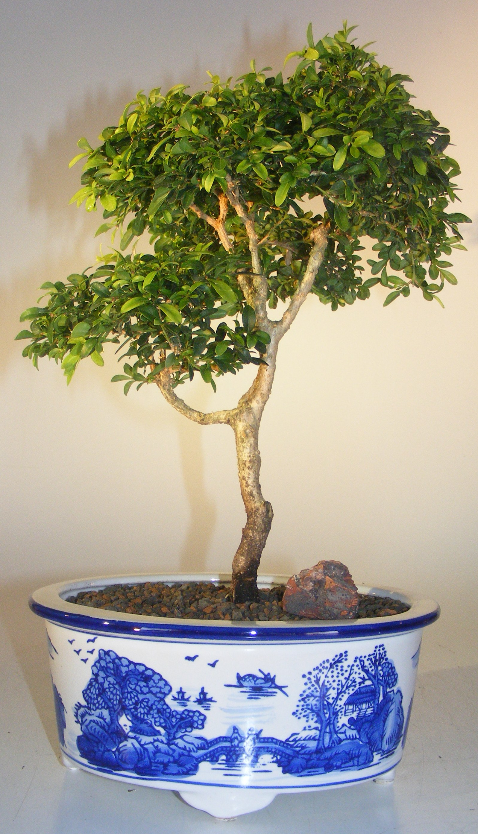 Japanese Kingsville Boxwood Bonsai Tree(buxus microphylla compacta) Image