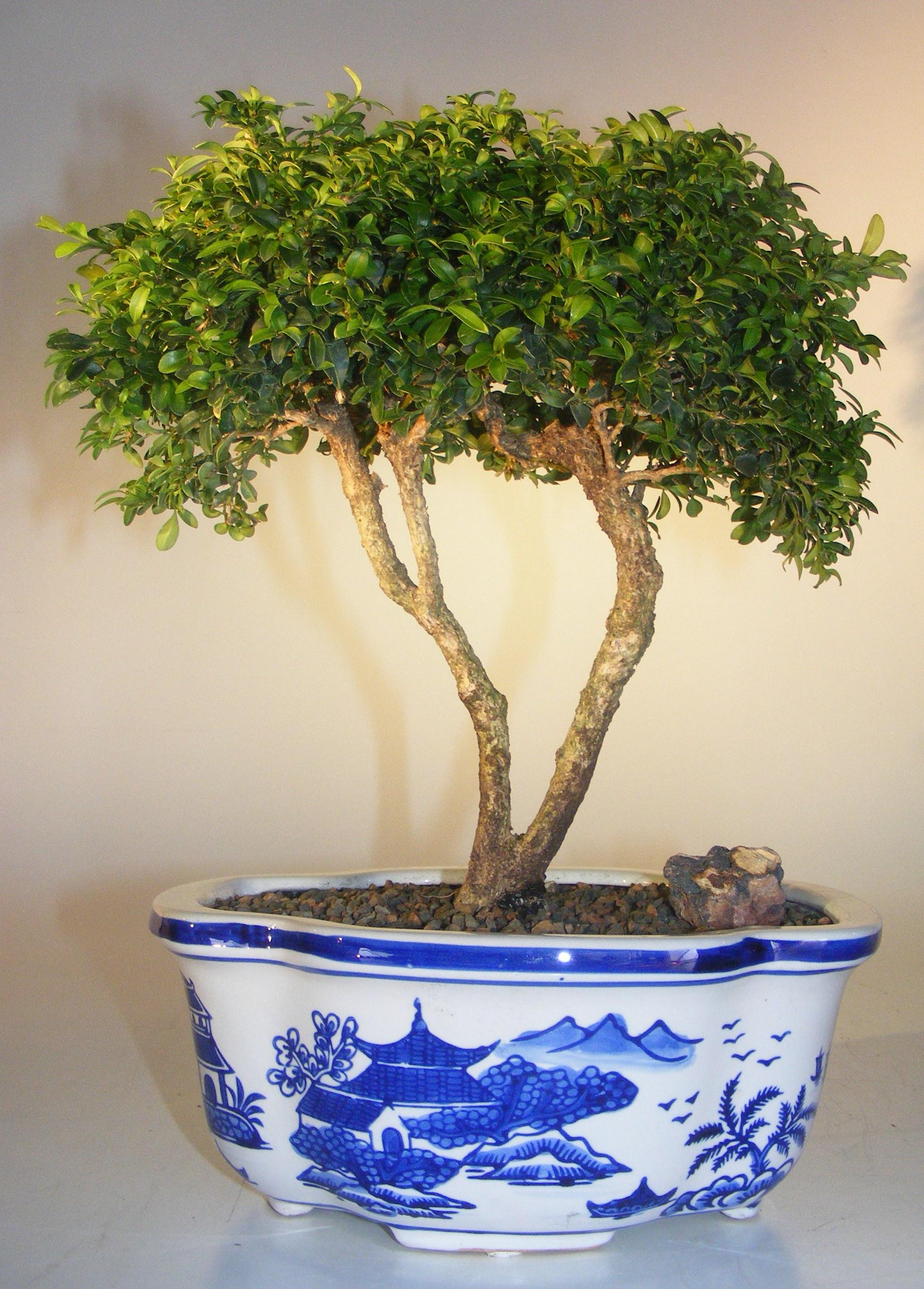 Japanese Kingsville Boxwood Bonsai Tree (buxus microphylla compacta) Image