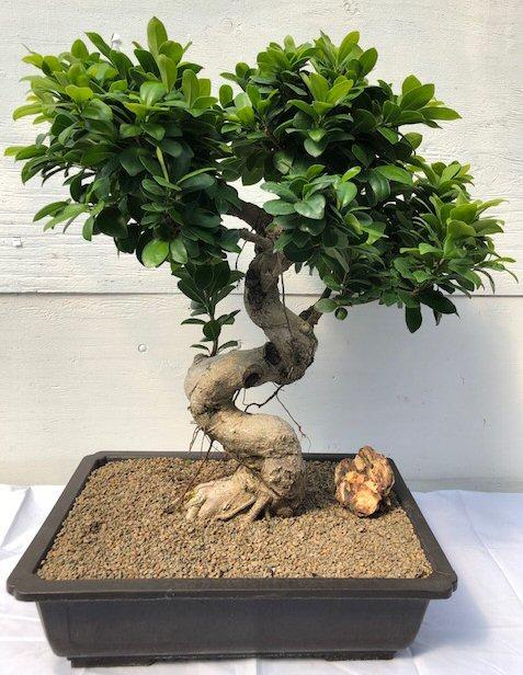 Fruiting Green Emerald Ficus Bonsai Tree <br><i>(ficus microcarpa)</i>