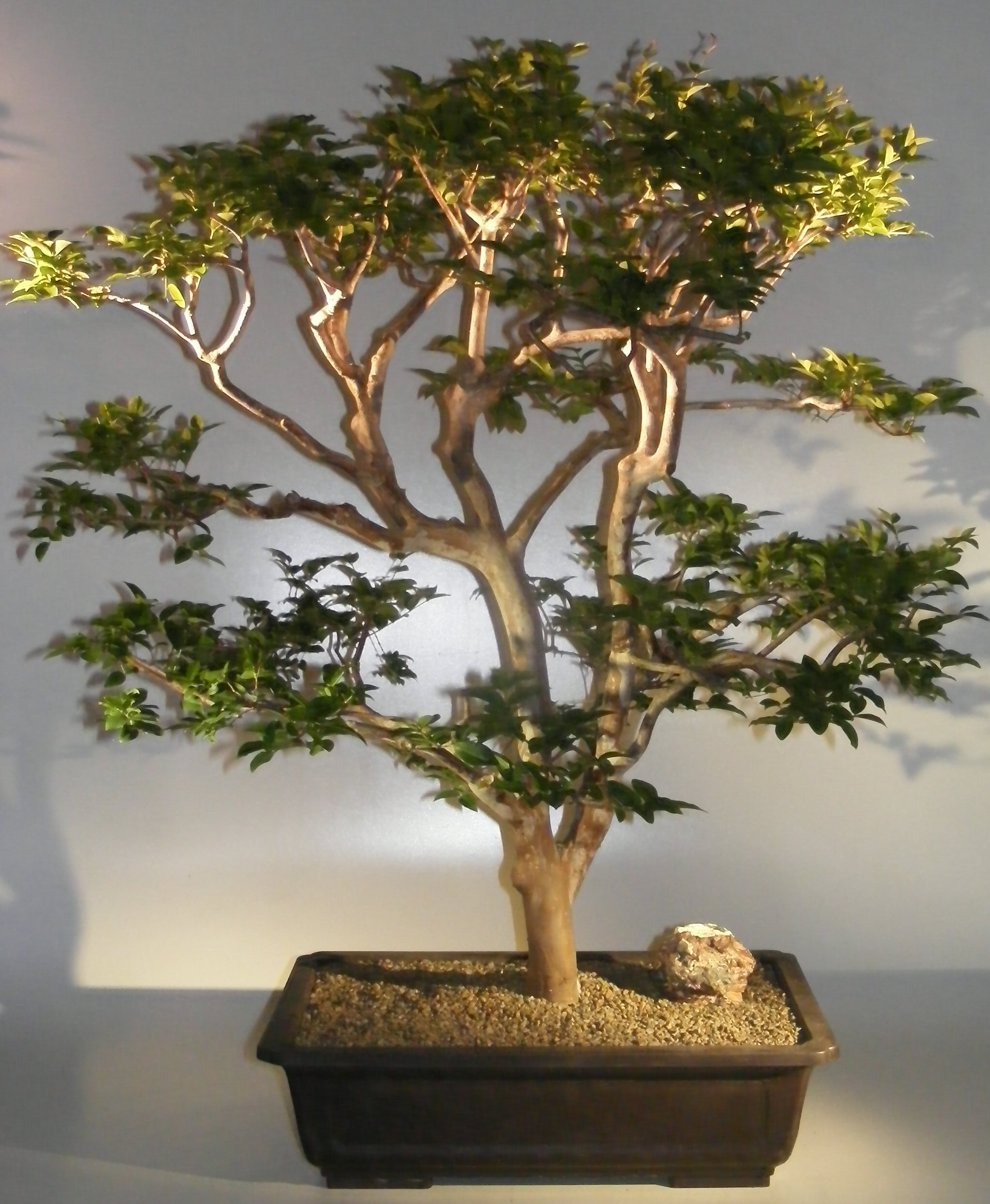Flowering Jaboticaba Bonsai Tree Eugenia Cauliflora