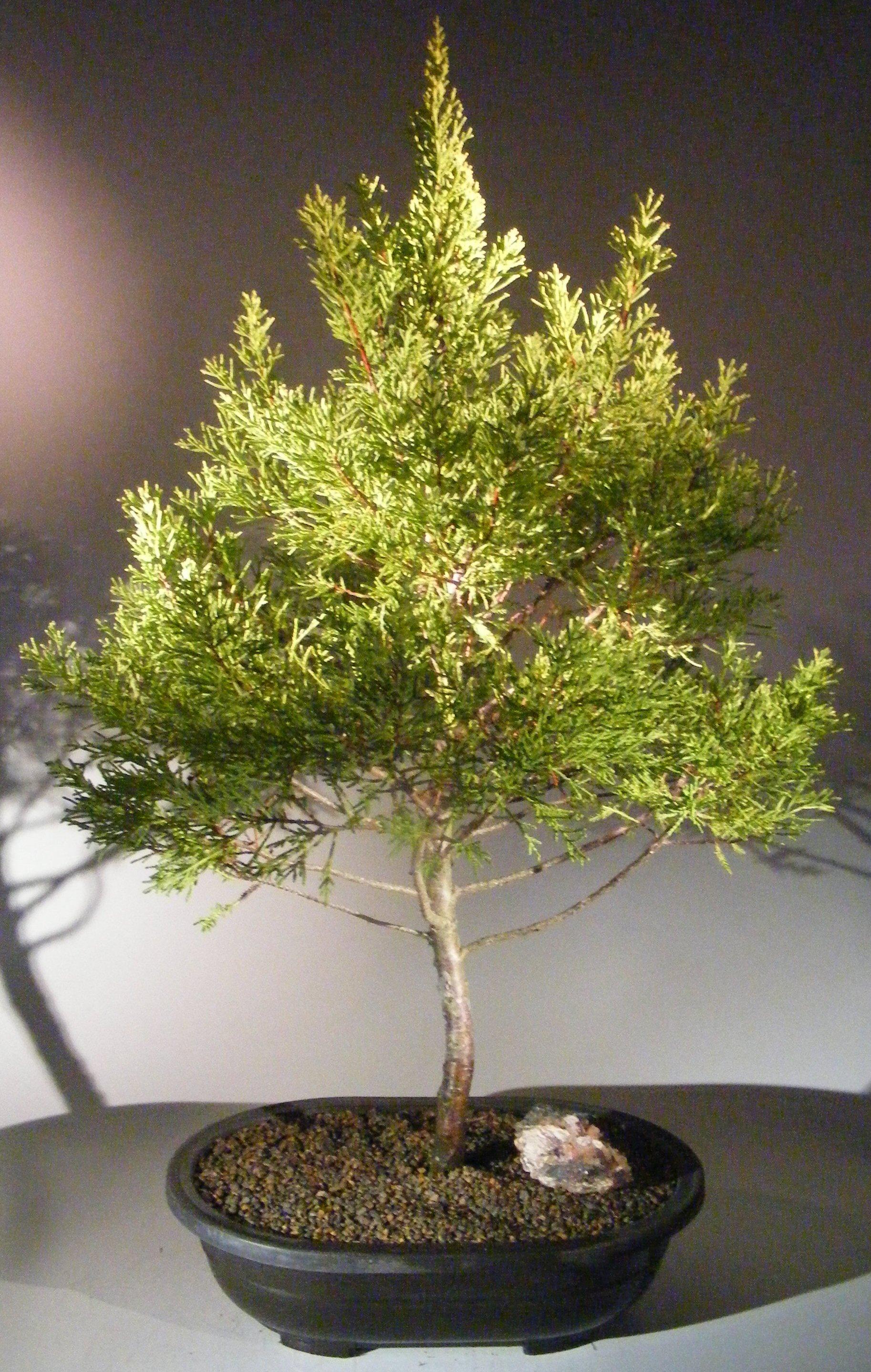 Lemon Cypress Bonsai Tree Cupressus Macrocarpa