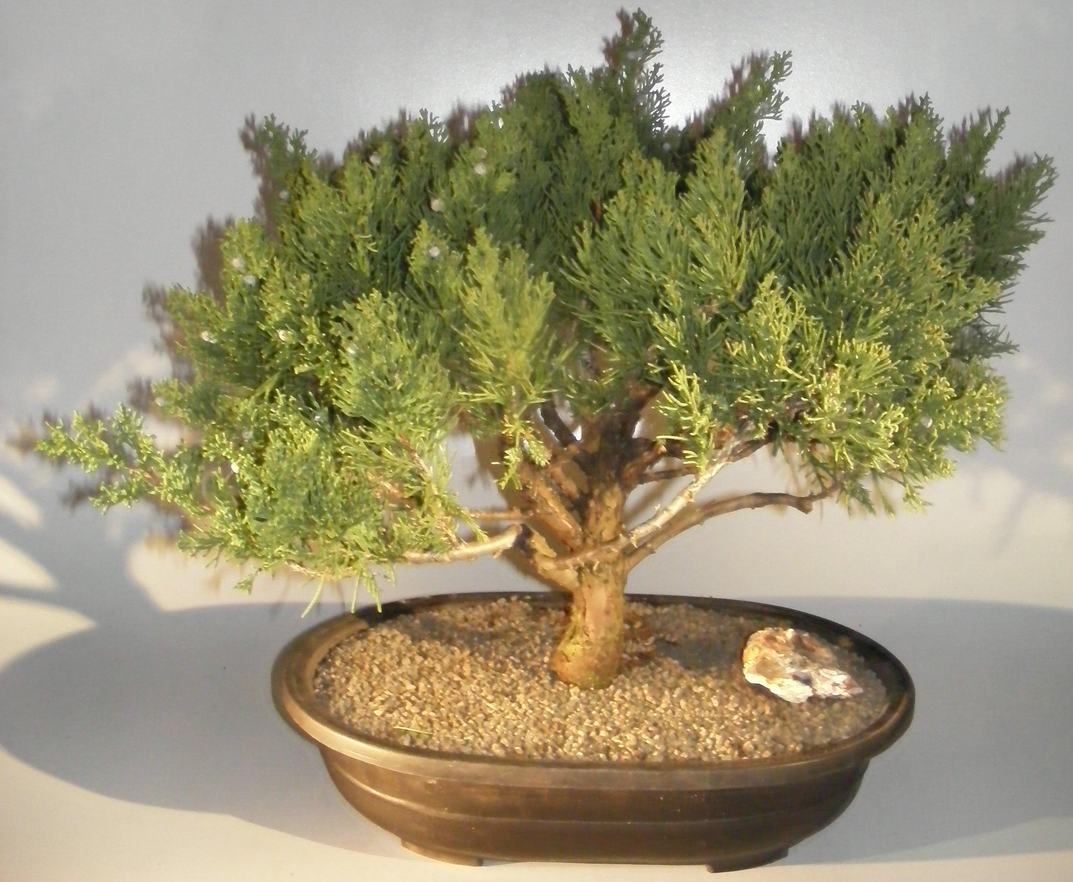 Juniper Bonsai Tree Juniperus Chinensis Parsonii
