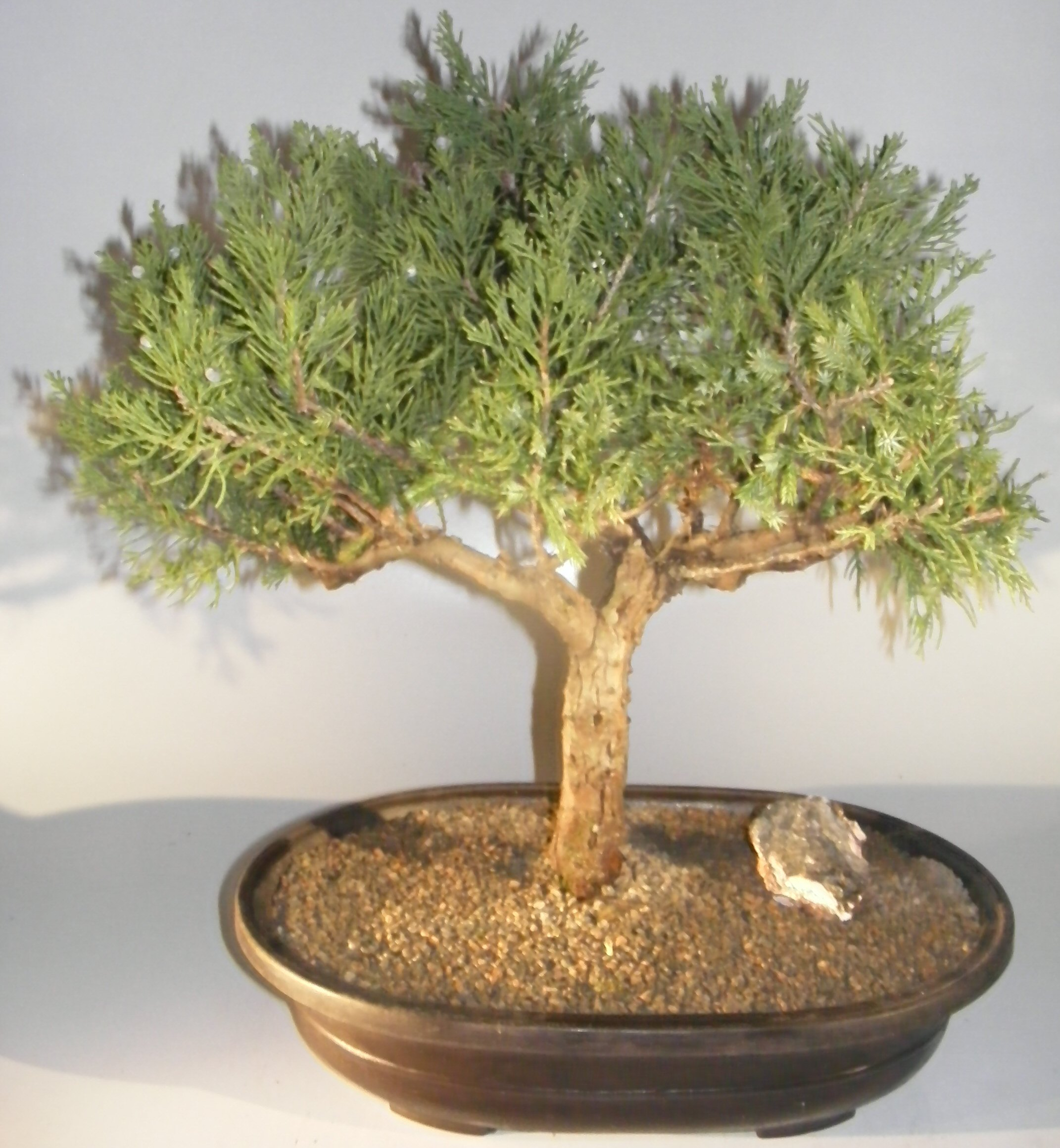 Juniper Bonsai Tree Juniperus Chinensis Parsonii