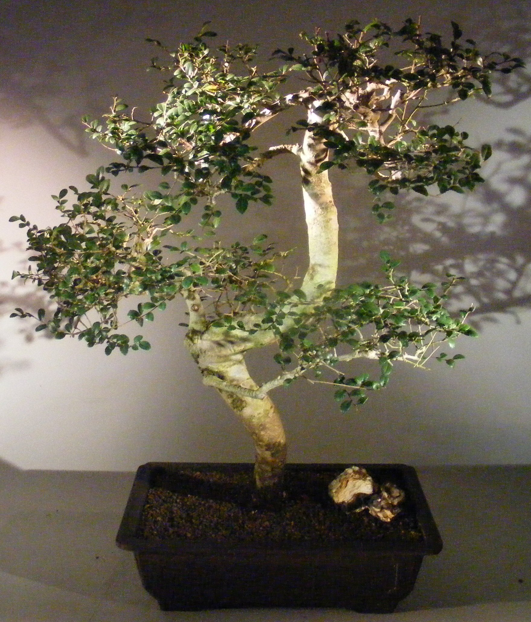 Chinese Elm Bonsai Tree Curved Trunk Style Ulmus Parvifolia