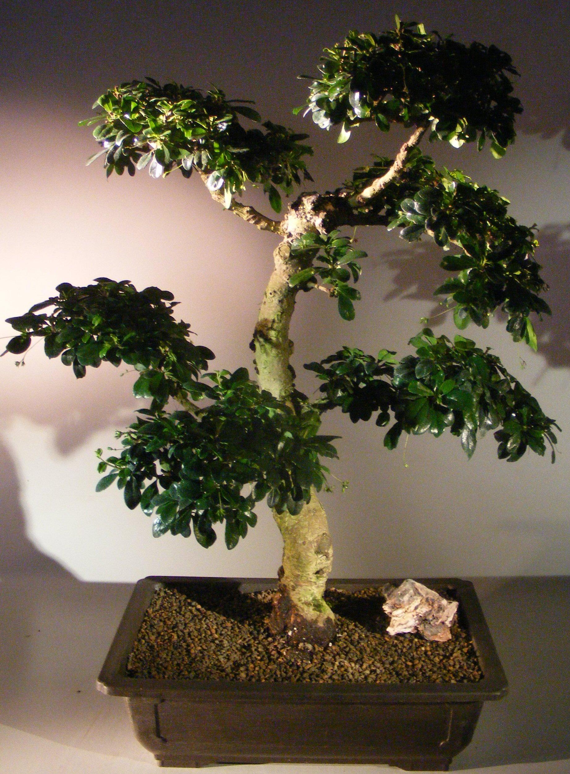 Flowering Fukien Tea Bonsai Tree Pom Pom Style Ehretia Microphylla Ehretia Microphylla
