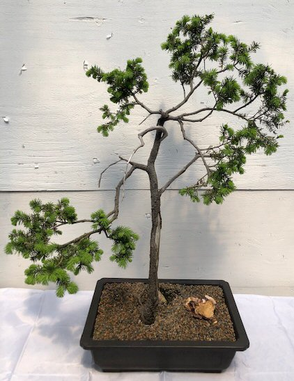 Scotch Scots Pine Bonsai Tree Trained In Jin Style Pinus Sylvestris Tabulaeformis
