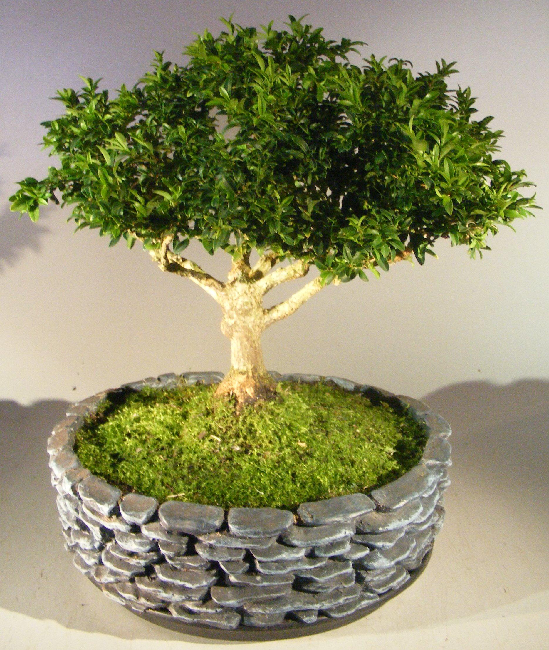 Japanese Kingsville Boxwood Bonsai Tree Buxus Microphylla Compacta