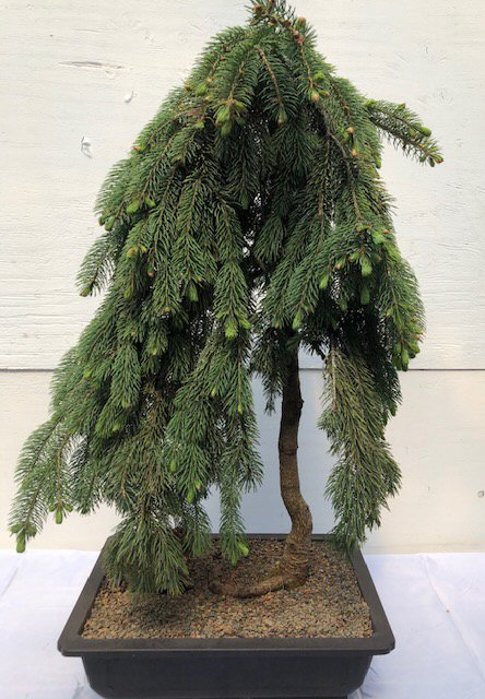 Dwarf Weeping Norway Spruce Bonsai Tree Picea Abies Glauca Pendula