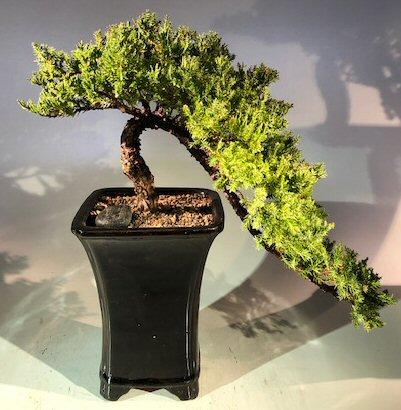 Juniper Bonsai Treecascade Style Juniper Procumbens Nana
