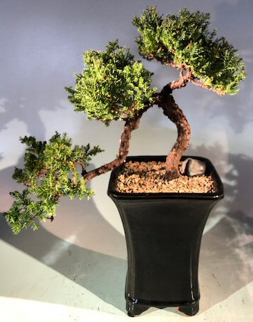 Juniper Bonsai Tree Cascade Style Juniper Procumbens Nana