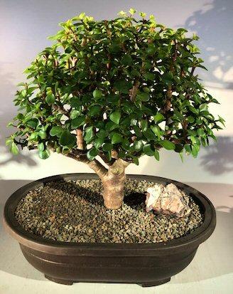 Baby Jade Bonsai Tree Portulacaria Afra
