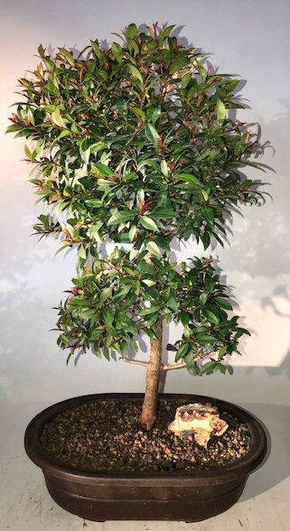 Flowering Brush Cherry Bonsai Tree Eugenia Myrtifolia