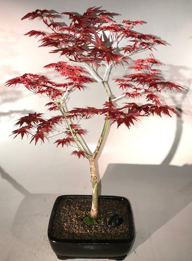 Japanese Red Maple Bonsai Tree Shindeshojo