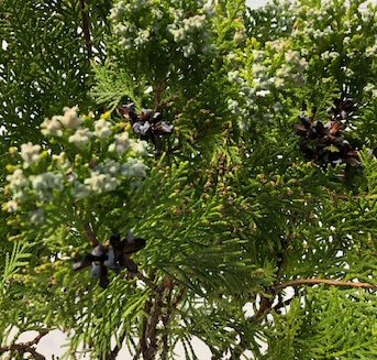 Eastern Red Cedar Bonsai Tree Juniperus Virginiana