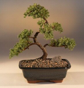 Juniper Karate Kid Bonsai Tree Juniper Procumbens Nana