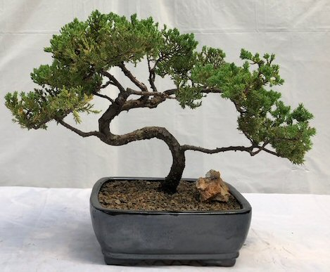 Juniper Bonsai Tree Trained Juniper Procumbens Nana