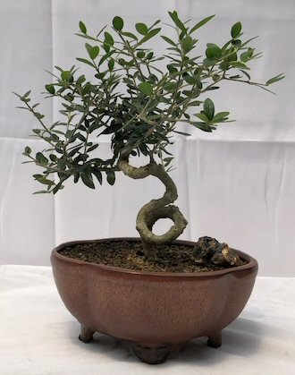 Flowering Fruiting European Olive Bonsai Treecoiled Trunk Style Olea Europaea Little Ollie