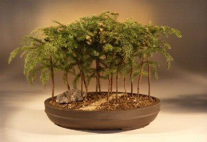 Norfolk Island Pine Bonsai Tree Araucaria Heterophila
