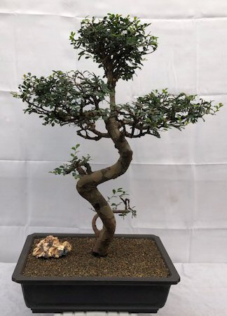 Chinese Elm Bonsai Treecurved Trunk Tiered Branching Ulmus Parvifolia