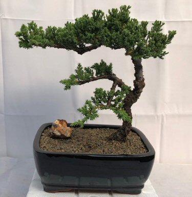 Juniper Bonsai Tree Trained Juniper Procumbens Nana