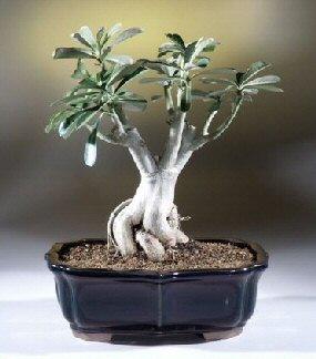 Desert Rose Bonsai Tree Adenium Obesum