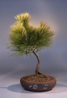 White Pine Bonsai Tree Pinus Strobus Stoneybrook