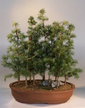 Buy Japanese Larch (larix leptolepsis)