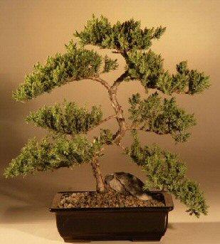 Juniper Karate Kid Bonsai Tree Juniper Procumbens Nana