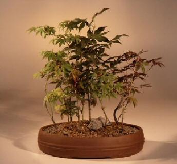 Bonsai Kits Japanese Maple Tree Named Musashi