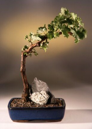 Wine Grape Bonsai Tree