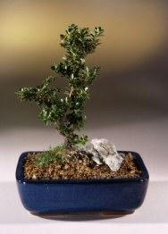 Japanese Holly Bonsai Tree Ilex Crenatadwarf Pagoda