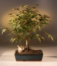 Japanese Maple Bonsai Tree Winter Flame Acer Palmatum