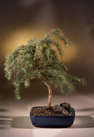 Weeping Larch Bonsai Tree Larix Kaempferi Diana