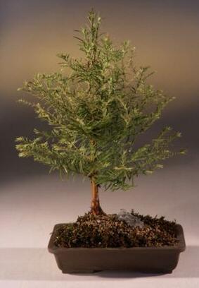 Redwood Bonsai Tree Metasequoia Glyptostroboides