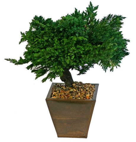 Monterey Juniper 8 Preserved Bonsai Tree <br>(Preserved - Not a Living Tree)