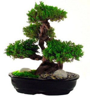 Monterey Juniper 20 Preserved Bonsai Tree