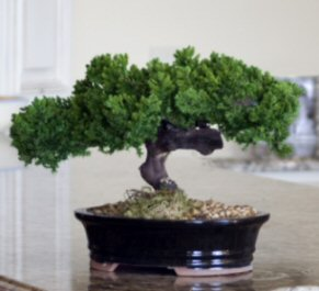 Monterey - Single Trunk-Preserved Bonsai Tree<br>(Preserved - Not a living tree)