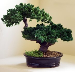 Monterey - Double Trunk-Preserved Bonsai Tree<br>(Preserved - Not a living tree)