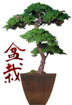 Image: Monterey Preserved Bonsai Tree Kage Style - 6 Feet Tall (Preserved - Not a living tree)