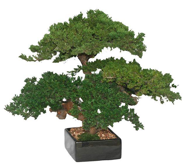 Monterey Juniper Triple Trunk Preserved Bonsai Tree (Preserved - Not a Living Tree) Image