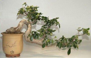 Ficus Bonsai Tree Cascade Style 30 X10 X19 Ficus Microcarpa