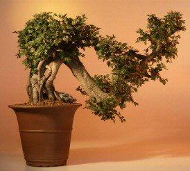 Chinese Elm Bonsai Tree Semi Cascade 22 X13 X19 Ulmus Parvifolia