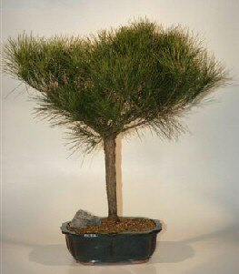 Japanese Red Pine Bonsai Tree  (pinus resinosa 'quinobequin')